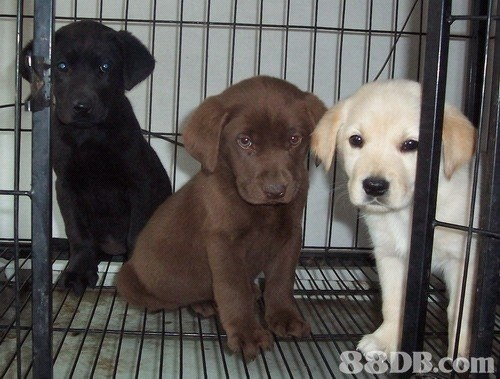 2EE 88DB.com  dog,dog like mammal,labrador retriever,dog breed,dog breed group