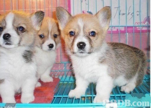 AB.com,dog,dog like mammal,welsh corgi,dog breed,mammal