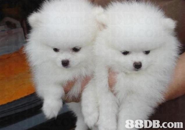 88DB.com  dog,dog like mammal,volpino italiano,dog breed,pomeranian
