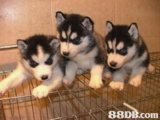 ea,dog like mammal,dog,siberian husky,dog breed,mammal