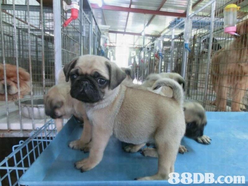 88DB.com  pug,dog,dog like mammal,dog breed,mammal