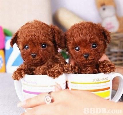 IANHANG  dog breed,stuffed toy,dog like mammal,dog,poodle