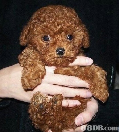 8DB.com,dog like mammal,dog,dog breed,miniature poodle,toy poodle