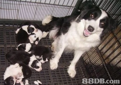 dog breed,dog like mammal,dog breed group,dog,border collie