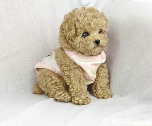 dog like mammal,dog,dog breed,toy poodle,dog breed group