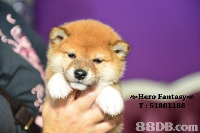 oHero Fantasy s T: 51801188,dog,dog like mammal,dog breed,mammal,dog breed group