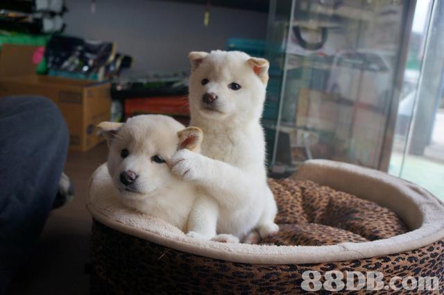 88DB com,dog,dog like mammal,dog breed,mammal,dog breed group