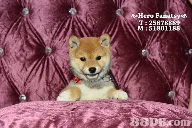o Hero Fanatsy 6 T: 25678889 M: 51801188,dog,dog like mammal,dog breed,mammal,shiba inu
