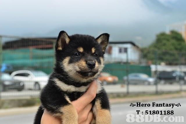 e-Hero Fantasy«Я T: 51801188 8 conn,dog,dog like mammal,dog breed,mammal,dog breed group