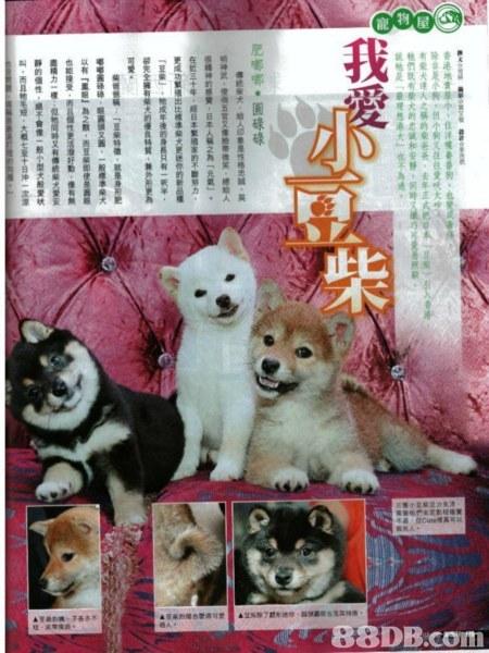 dog,dog like mammal,mammal,dog breed group,pomeranian