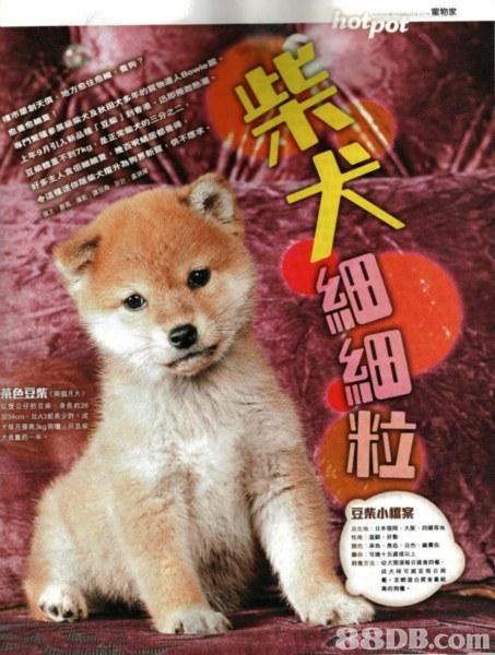 豆柴小檔案,dog,dog like mammal,dog breed,mammal,dog breed group
