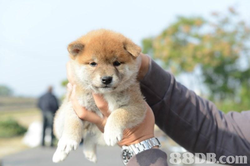 88DR.com,dog,dog like mammal,dog breed,mammal,dog breed group
