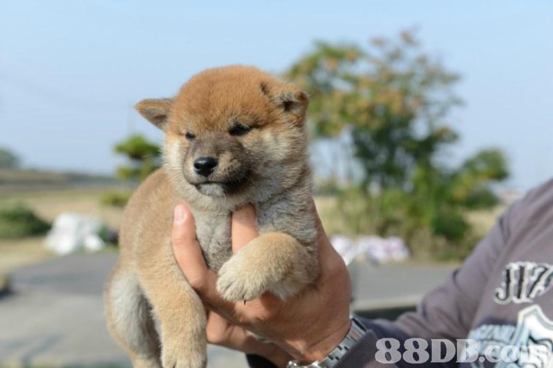 88DE,dog,dog like mammal,dog breed,mammal,dog breed group