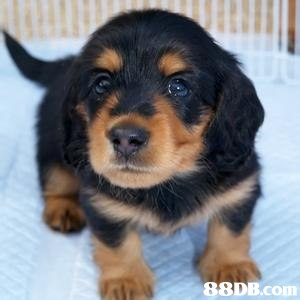dog,dog like mammal,dog breed,mammal,austrian black and tan hound