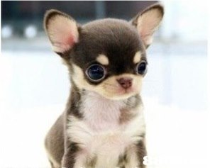 dog,dog like mammal,dog breed,chihuahua,mammal