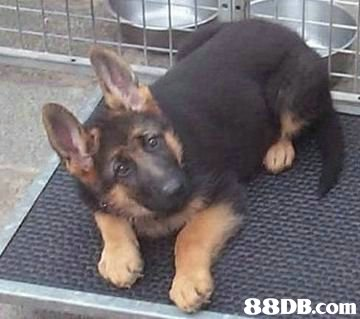 88DB.Com,dog,dog like mammal,dog breed,german shepherd dog,old german shepherd dog