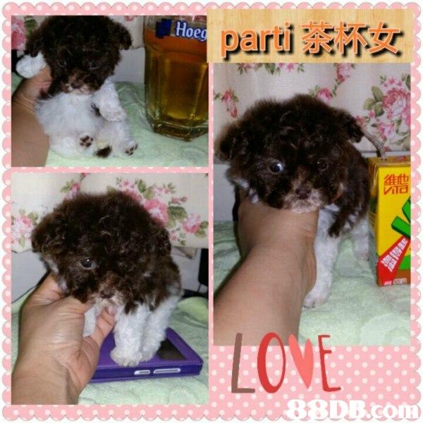 -parti茶杯女 OME  dog like mammal,dog,dog breed,puppy,spanish water dog