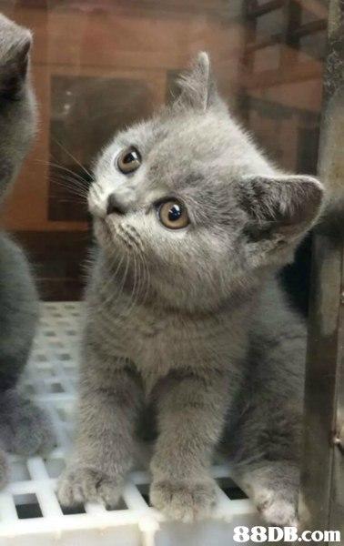cat,small to medium sized cats,mammal,cat like mammal,chartreux