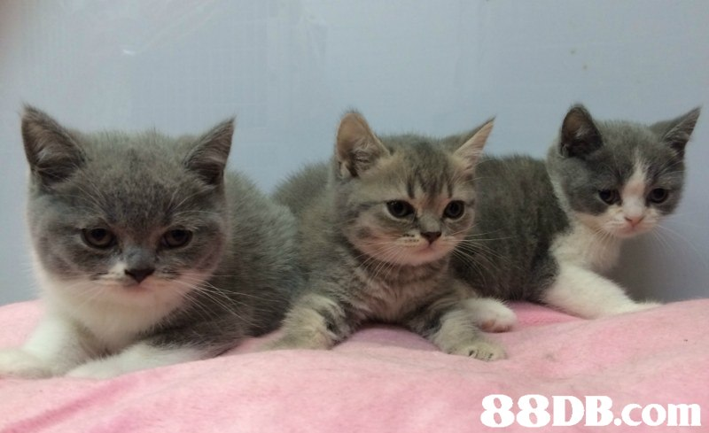 cat,small to medium sized cats,cat like mammal,mammal,british shorthair