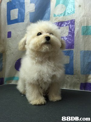 dog,dog like mammal,dog breed,maltese,mammal