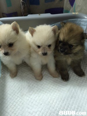 dog,dog like mammal,dog breed,german spitz klein,pomeranian