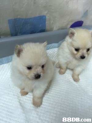dog,dog like mammal,dog breed,pomeranian,german spitz klein