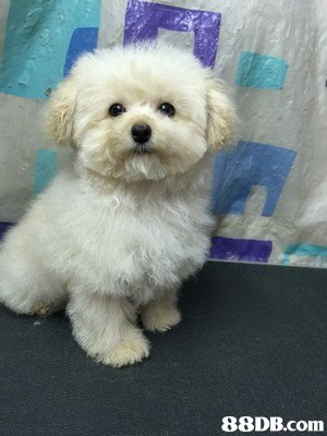 dog like mammal,dog,dog breed,maltese,mammal