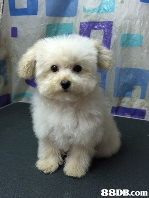 dog like mammal,dog,maltese,dog breed,mammal