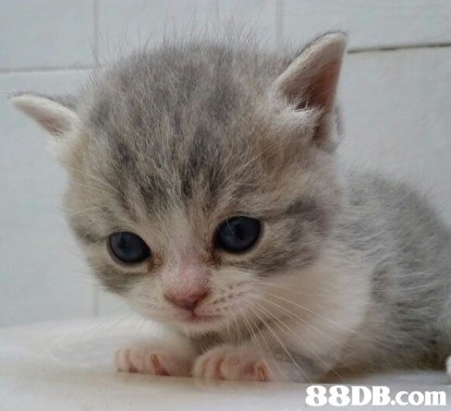 88DB.com  cat,small to medium sized cats,mammal,cat like mammal,burmilla
