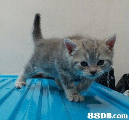 88DB.com  cat,small to medium sized cats,mammal,cat like mammal,kitten