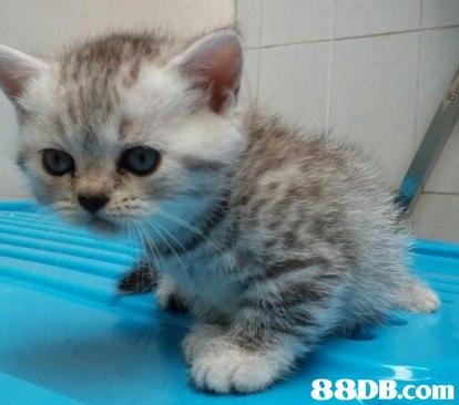 88DB.com  cat,mammal,small to medium sized cats,cat like mammal,american shorthair