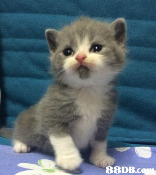 88DB.c,cat,small to medium sized cats,mammal,cat like mammal,whiskers