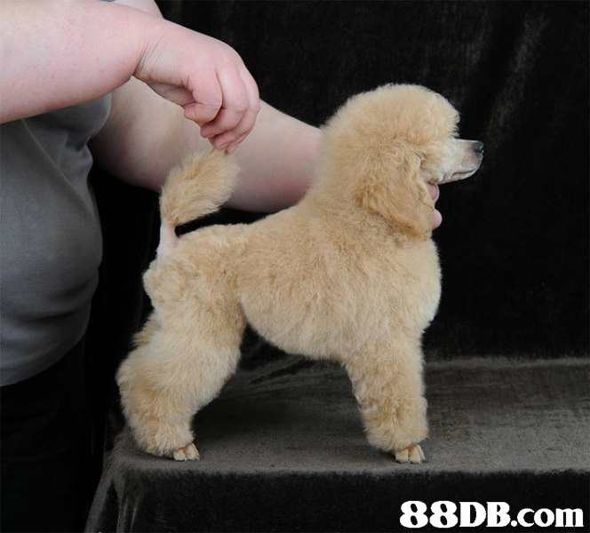 dog,dog like mammal,dog breed,mammal,miniature poodle