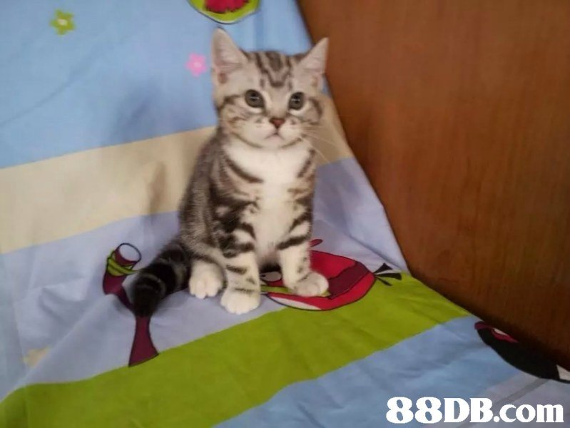 88DB.com  cat,mammal,small to medium sized cats,cat like mammal,vertebrate