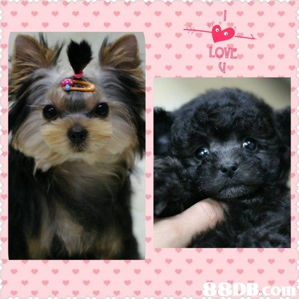 LOVE RODE con  dog like mammal,dog breed,dog,vertebrate,dog breed group