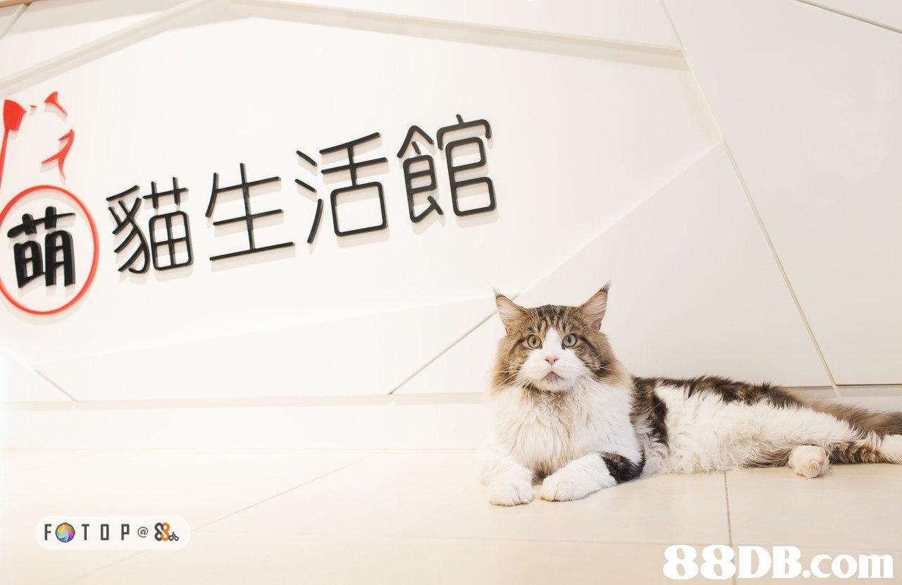 萌貓生活館 88DB.com  cat,small to medium sized cats,cat like mammal,snapshot,photo caption