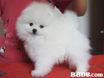 dog,dog like mammal,volpino italiano,dog breed,pomeranian