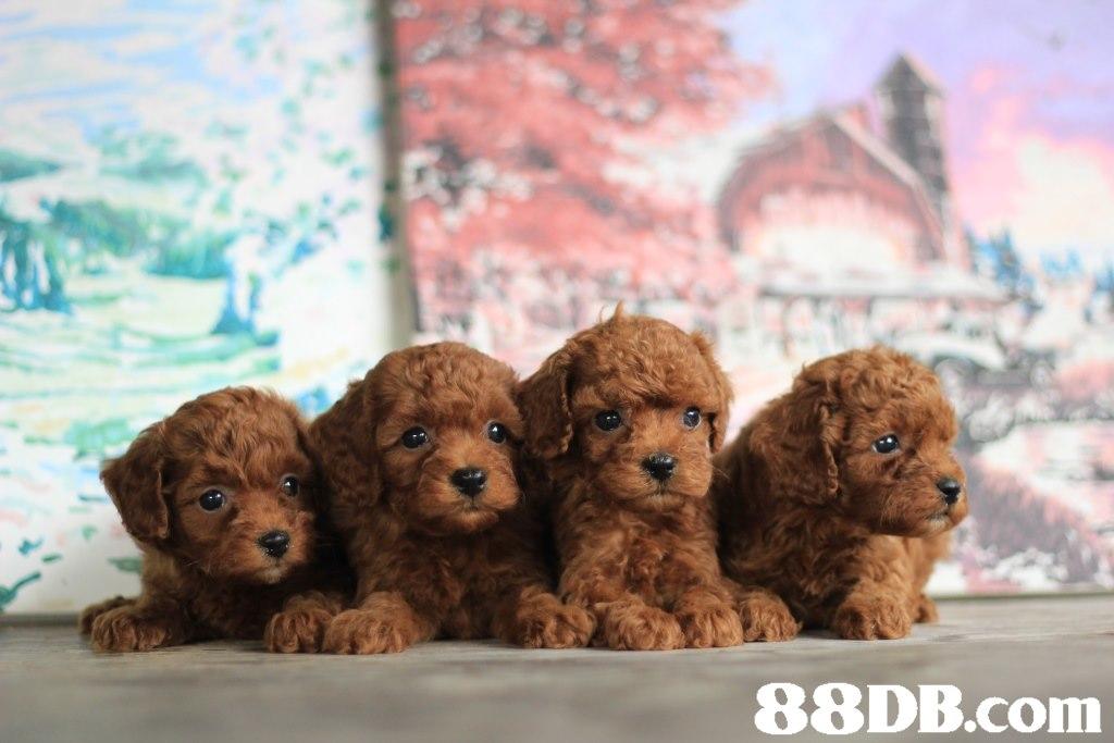 88DB.com  dog like mammal,dog,dog breed,mammal,vertebrate