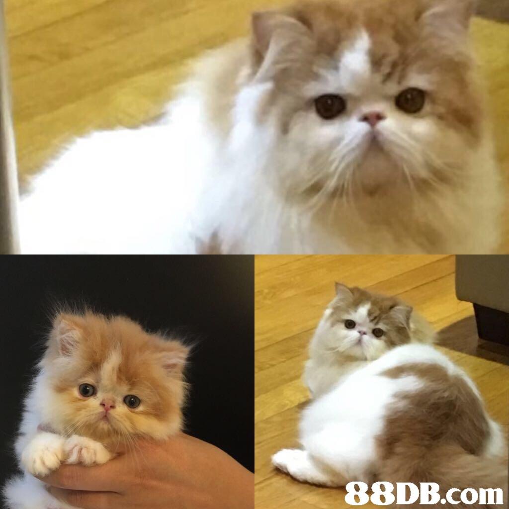 88DB.com  cat,small to medium sized cats,mammal,cat like mammal,vertebrate
