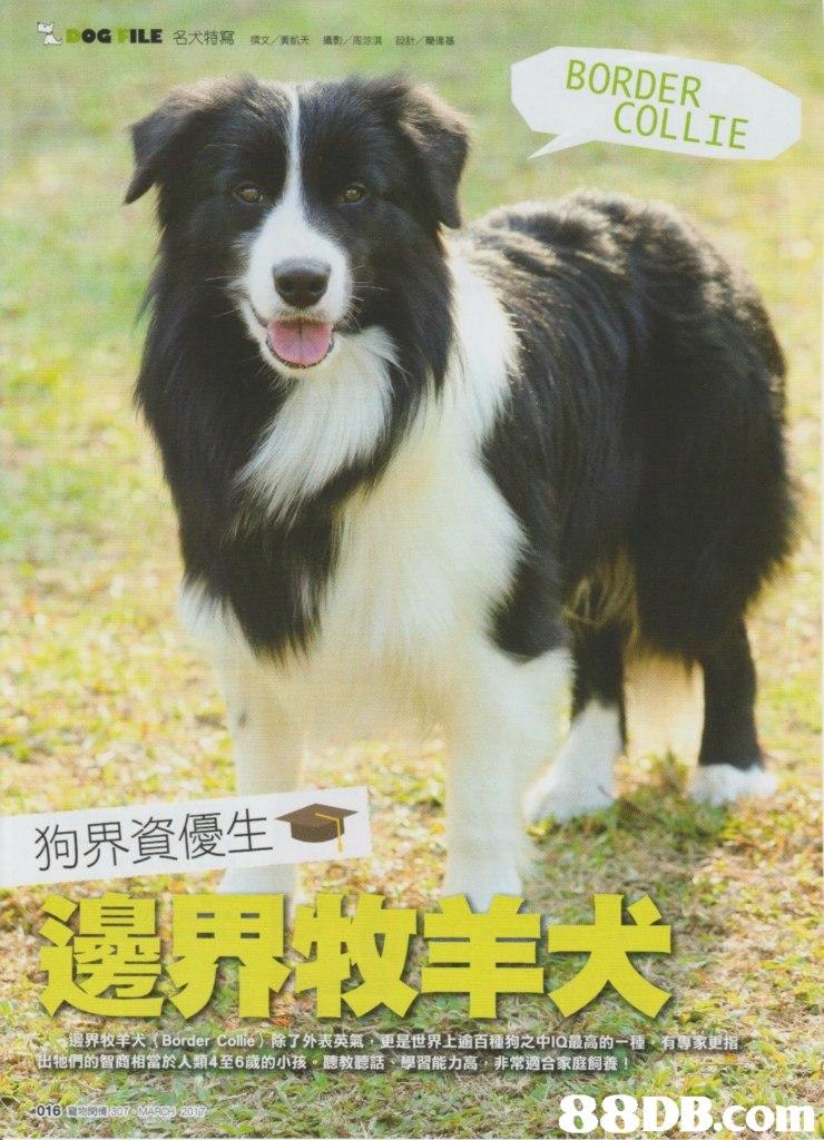 BORDER COLLIE 狗界資優生 們的智商相當於人類4至6歲的小孩一聽教聽話彈習能力高,非常適合家庭飼養! 88DB. com  dog,dog like mammal,dog breed,border collie,welsh sheepdog