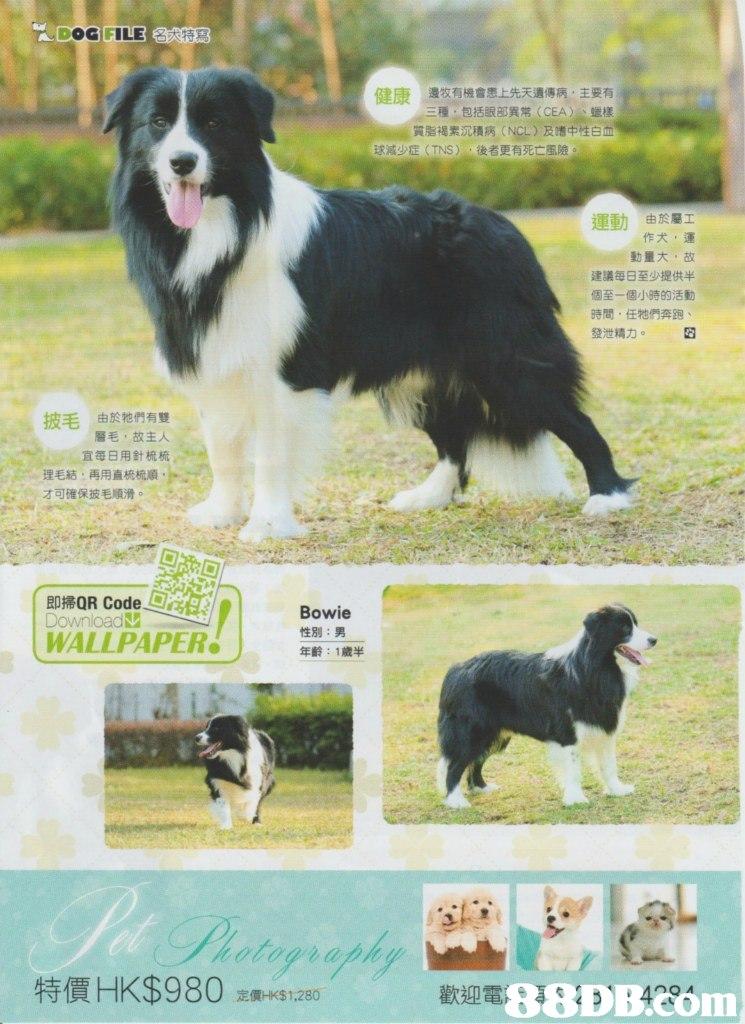 "DOGI, ILE :特寫 健康 邊牧有機會患上先天遺傳病,主要有 三種,包括眼部異常(CEA) 蠟樣 質脂褐素沉積病(NCC),及嗜中性白m 球減少症( TNS ) ,後者更有死亡風險。 運動 ,由於屬工 作犬,運 動量大,故 建議每日至少提供半 個至一個小時的活動 時間,任牠們奔跑 發泄精力。 披毛由於牠們有雙 層毛,故主人 宜每日用針梳梳 理毛結,再用直梳梳順 ""才可確保披毛順滑。 即掃QR Code. WALLPAPER Bowie 性別:男 年齡:1歲半 特價HK$980 88DB4290m 定價HK$ 1,280 歡迎電  dog,dog like mammal,dog breed,border collie,obedience trial"