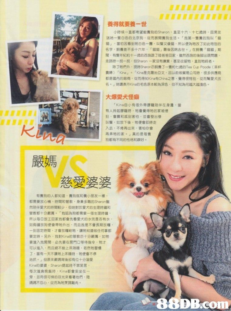 養得就要養一世 小時候一直都希望能養狗的Sharon ,直至十六、十七歲時,因男友 送她一隻白色的北京狗,從而展開養狗生活。「我第一隻養的狗叫r貓 貓」,當初因看到牠白色一團,叫聲又像貓,所以便為牠改了如此特別的 名字,飼養差不多十六年,「貓貓」最後因病去世。」在飼養「貓貓」期 間,有隻年紀約十一歳的西施跟了陸爸爸回家,雖然西施的後腳出現問題 走路時一拐一拐,但Sharon一家沒有嫌棄,甚至收留牠,直到牠終老。 除了牠們外,現時Sharon亦飼養3一隻約七歲的Tea Cup Poode (茶杯 貴婦) Kina」。「Kina是克羅地亞文,因以前做貿易公司時,很多供應商 都是國內的廠商。從而得知Kina有China之意,覺得很特別,從而幫愛犬改 名。」她還表示Kina的毛色原本較為深色,但不知為何越大越淺色。 大爆愛犬怪癖 Kina自小有個外帶謬籠陪伴在身邊,當 有人拎起膠籠時,牠會覺得牠的家被侵 犯,會震和感到害怕,並會發出慘 叫聲,如放下後,牠便會即時走 入去,不肯再出來,害怕你會 再弄牠的家。」真的是每隻 na 嚴媽 Miam 狗都有不同的性格和癖好。 VS 慈愛婆婆 有養狗的人都知道,養狗就和養小朋友一樣. 都需要放心機、時間和管教,身兼多職的Sharon雖 然陪伴愛犬的時間較少,但她對於愛犬的生理時鐘和 管教都十分嚴厲。「我認為狗都需要一個生理時鐘 所以每日放工回家我都會先看愛犬的水兜是否有水 如夠鐘放狗便會帶牠外出,而且我是不會長期放糧 一到固定時間,才會放糧給牠,讓牠知道做任何事都 要定時。另外,我對Kina的管教亦十分嚴厲,如牠 要進入我房間,必先要在房門口等待指令,牠才 可以進入,而且絕不能上床陪睡,若然牠習慣 3,當有一天不讓牠上床睡時,牠便會不停 地抓。」但原來嚴媽背後卻有位十分溺愛 Kina的婆婆, Sharon提起時不禁笑言 每次進食晚飯時, Kina都會安坐在一 旁,並用很可憐的目光來看著他們,陸 媽媽不忍心,從而為牠烹調雞肉。 -88DB.com  mammal,dog,magazine,dog like mammal,poster