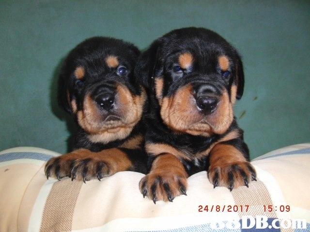 24/8/2017 15:09 DB.COm,Dog,Mammal,Vertebrate,Canidae,Dog breed