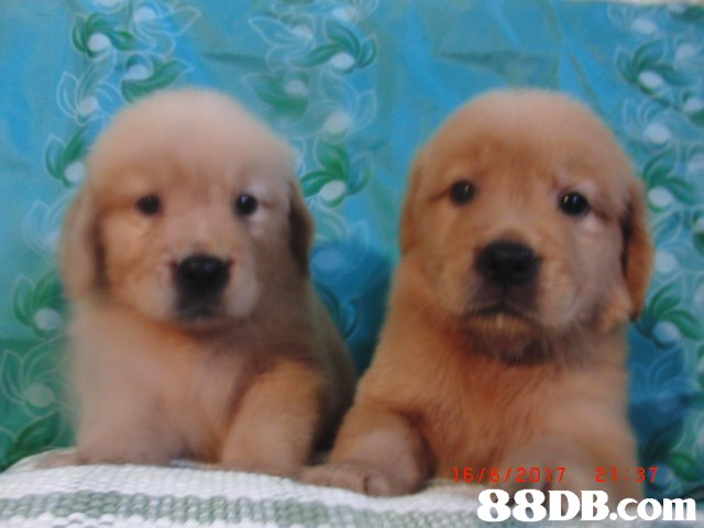 16/6/2017 21237 A,Dog,Mammal,Vertebrate,Dog breed,Canidae
