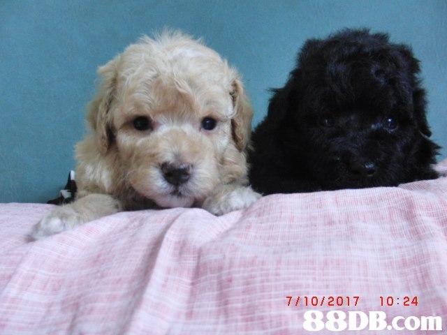 7/10/2017 10:24,Dog,Mammal,Vertebrate,Canidae,Maltepoo