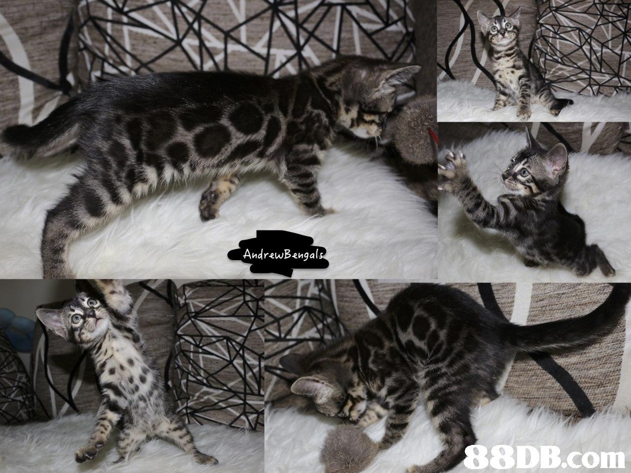 AndrewBangal 8DB.com,cat,mammal,small to medium sized cats,cat like mammal,fauna