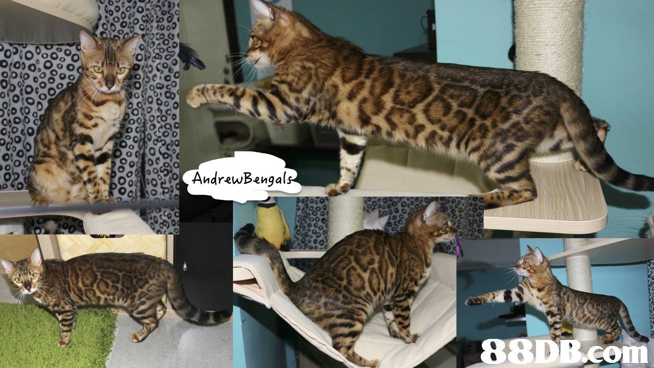 0 Andrewbenga 2,cat,mammal,fauna,small to medium sized cats,cat like mammal