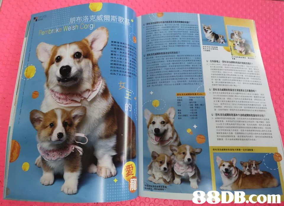 "朋布洛克感爾斯歌 北朋布洛克"",dog,dog like mammal,dog breed,dog breed group,puppy"