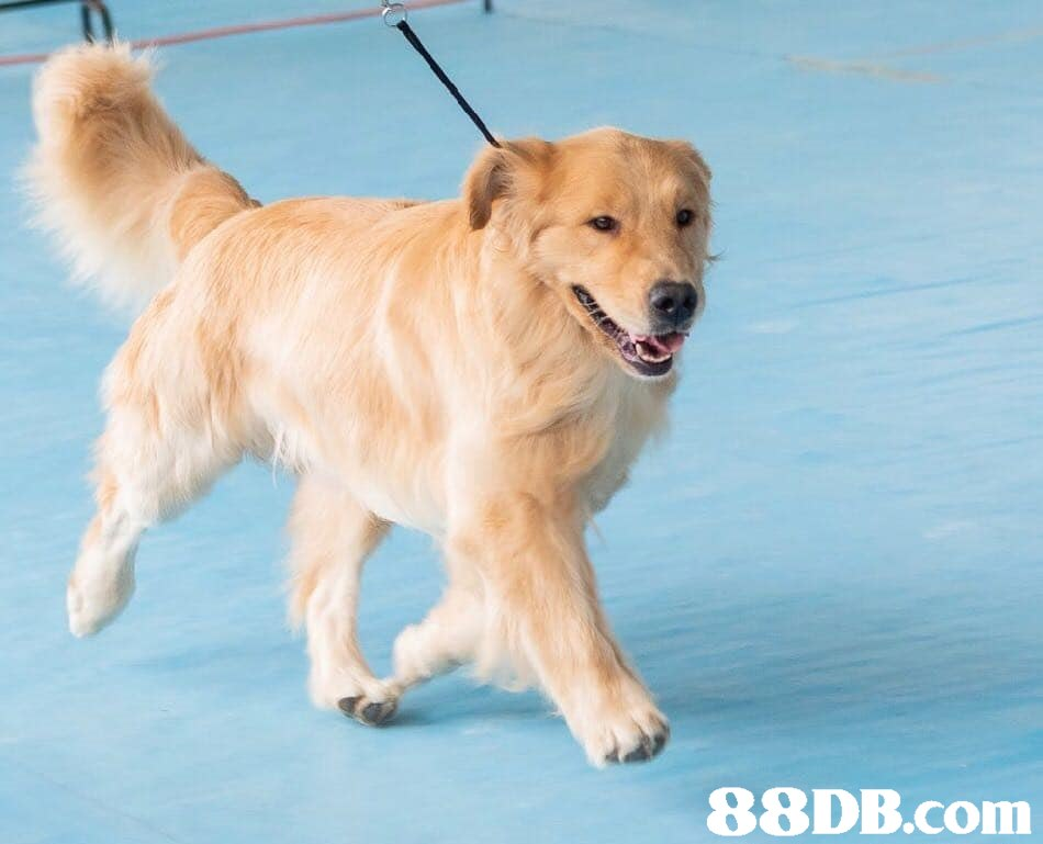 dog,dog like mammal,golden retriever,dog breed,retriever