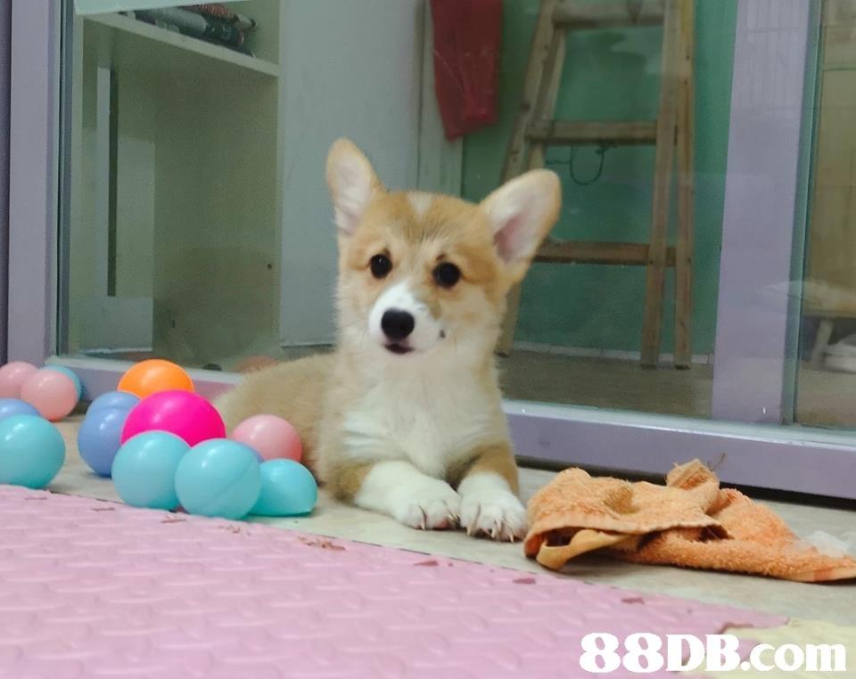 dog,dog like mammal,welsh corgi,dog breed,mammal
